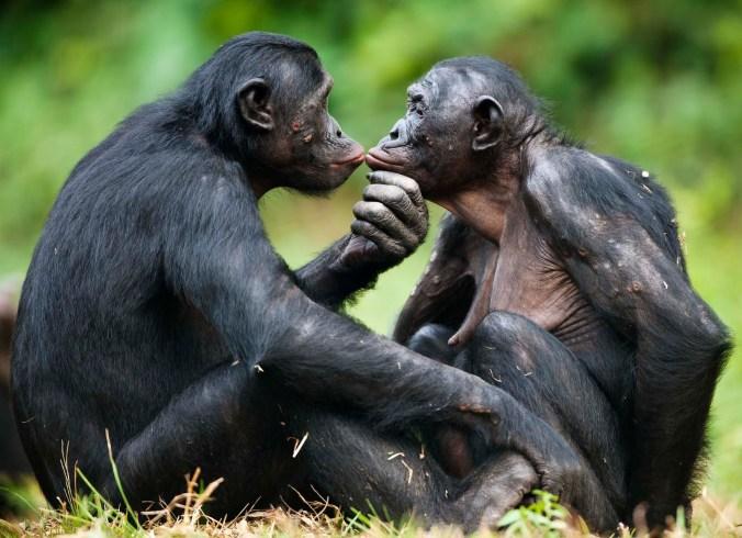 bonobo-scimmia