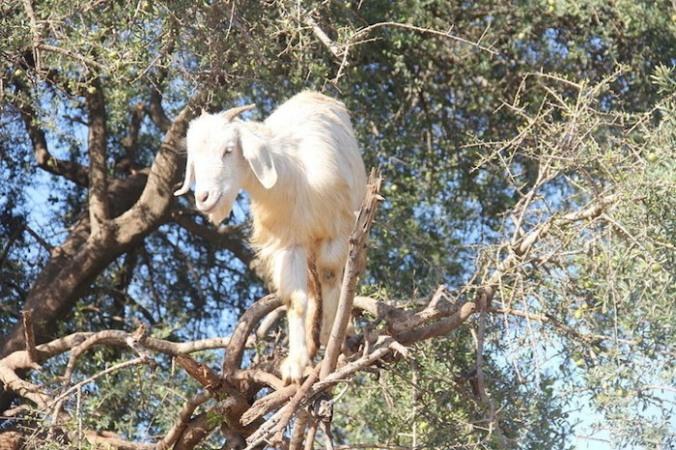 foto-capre-marocco-arrampicate-albero-argania-06